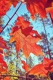Foglie di rosso di autunno contro il sole immagini stock libere da diritti
