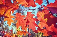 Foglie di rosso di autunno contro il sole immagine stock libera da diritti