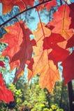 Foglie di rosso di autunno contro il sole fotografia stock libera da diritti