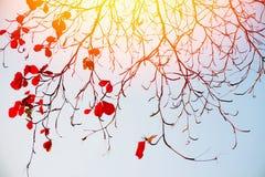 Foglie di rosso dei rami di albero immagine stock