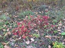 Foglie di rosso di autunno su erba verde Fotografie Stock