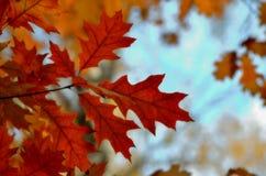Foglie di rosso nella stagione di autunno fotografie stock