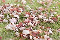 Foglie di rosso su erba verde vibrante Fotografie Stock Libere da Diritti