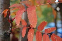 Foglie di rosso su un albero in autunno fotografia stock