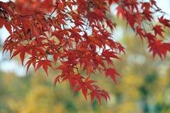 Foglie di rosso su un albero di acero Immagine Stock