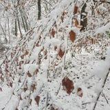 Foglie di Snowy Immagine Stock