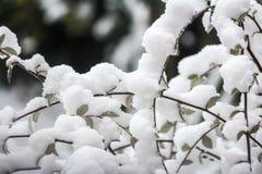 Foglie di Snowy Fotografie Stock