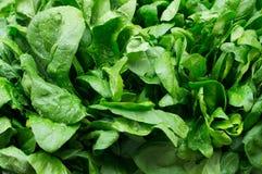 Foglie di spinaci freschi Fotografie Stock Libere da Diritti