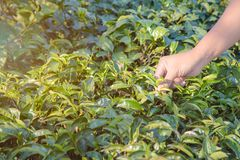Foglie di tè del raccolto dell'uomo Selezionamento della punta della foglia di tè verde dalla mano umana sulla collina della pian Fotografie Stock Libere da Diritti