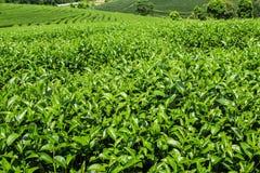 Foglie di tè di Oolong immagini stock