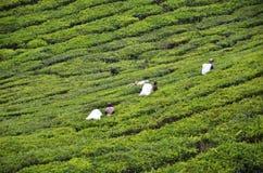 Foglie di tè di raccolto del lavoratore del tè in una piantagione di tè Fotografia Stock Libera da Diritti