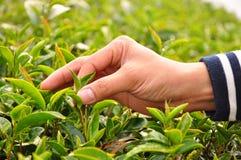 Foglie di tè di raccolto a mano Fotografia Stock Libera da Diritti