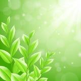 Foglie di tè di verde dello sbackground dell'illustrazione di vettore Fotografie Stock