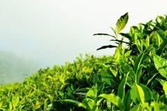 Foglie di tè fresche immagini stock libere da diritti