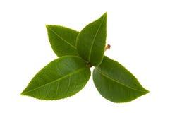 Foglie di tè fresche immagini stock