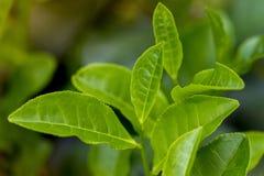 Foglie di tè in giardino fresco in Moulovibazar, il Bangladesh Immagini Stock