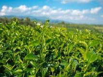 Foglie di tè sulla montagna verde Fotografia Stock