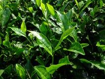 Foglie di tè in una piantagione della proprietà del tè Immagini Stock Libere da Diritti