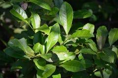 Foglie di tè verdi Immagine Stock