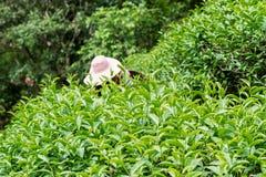 Foglie di tè verdi fresche Fotografia Stock Libera da Diritti
