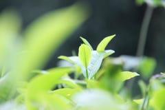 Foglie di tè verdi fresche sulla collina del kuneer, Malang - Indonesia fotografia stock libera da diritti