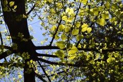Foglie di un albero contro la luce Fotografia Stock