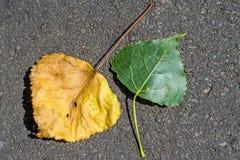 foglie di un pioppo Fotografia Stock