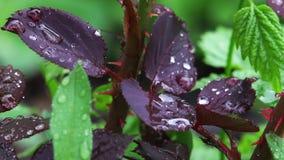 Foglie di una crescita rosa con le gocce di pioggia stock footage