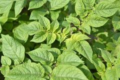 Foglie di una pianta di patate Immagini Stock Libere da Diritti
