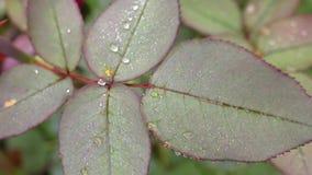 Foglie di una rosa con le gocce di rugiada stock footage