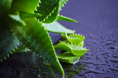 Foglie di vera dell'aloe della pianta medicinale Fotografia Stock
