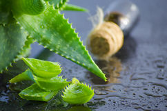 Foglie di vera dell'aloe della pianta medicinale Fotografie Stock Libere da Diritti