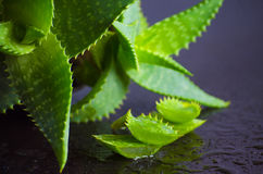 Foglie di vera dell'aloe della pianta medicinale Fotografia Stock Libera da Diritti