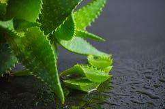 Foglie di vera dell'aloe della pianta medicinale Immagini Stock