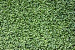 Foglie di verde Fotografie Stock Libere da Diritti