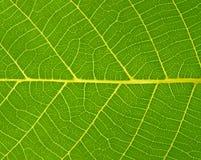 Foglie di verde Fotografia Stock Libera da Diritti