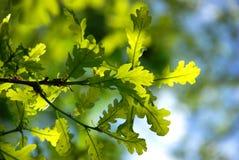 Foglie di verde Immagine Stock