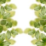 Foglie di verde della sorgente Fotografia Stock