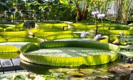 Foglie di Victoria Amazonica in giardino botanico Gigante Waterlily Immagine Stock Libera da Diritti