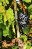 Foglie di vite ed uva blu Immagini Stock