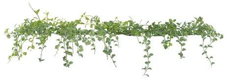 Foglie di vite, pianta dell'edera isolata su fondo bianco, percorso di ritaglio immagini stock libere da diritti