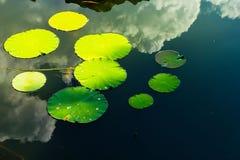 Foglie di Waterlily sul lago Immagini Stock