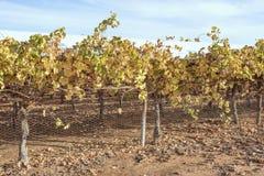 Foglie dorate dell'uva sulle viti in autunno fotografia stock libera da diritti