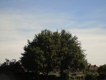 Foglie dorate luccicanti al di sotto di bello cielo blu profondo Fotografia Stock