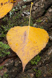 Foglie dorate vicine in autunno Fotografia Stock