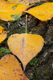 Foglie dorate vicine in autunno Immagini Stock