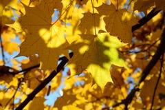 Foglie dorate in Victory Park fotografia stock libera da diritti