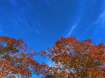 Foglie e cieli blu dell'arancia immagine stock