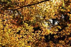Foglie e colore di autunno nell'ambito di luce solare fotografia stock