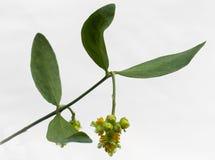 Foglie e fiore chinensis di Simmondsia del jojoba Fotografie Stock